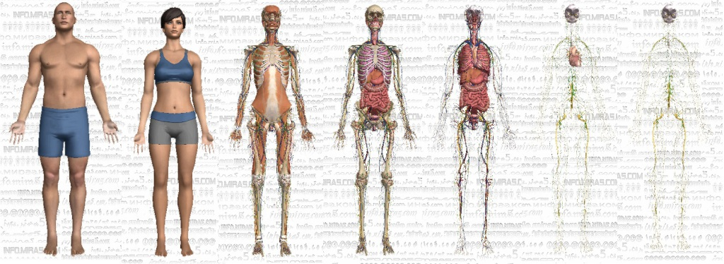 Анатомия человека в формате 3D.info.mira5.com