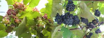 Вино ,виноград синий, vinograd, poleznye svojstva