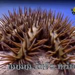 Морская звезда акантастер (Acanthaster planci)